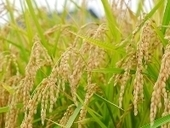 Rice FOX Database | Plant Breeding and Genomics News | Scoop.it