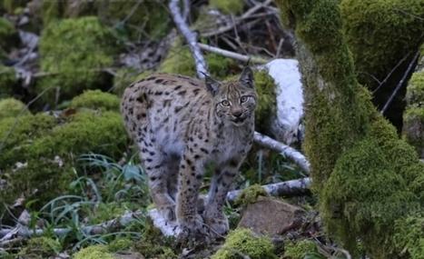 Le lynx boréal continue d'entretenir le mystère dans l'Ain | The Blog's Revue by OlivierSC | Scoop.it