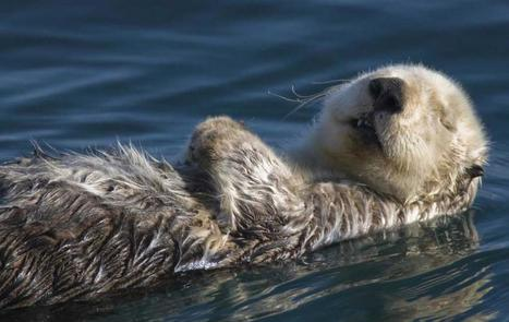 Sea Otter | Oceans and Wildlife | Scoop.it