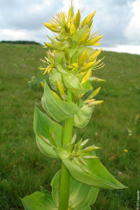 Les gentianes sont en fleurs sur le plateau de l'Aubrac   L'info tourisme en Aveyron   Scoop.it