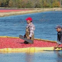 NJ Spotlight   Global Warming Seen as Threat to Garden State's Cranberry Farms   Climate change challenges   Scoop.it