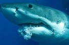 #Tumor Found in #GreatWhiteShark ~ | Rescue our Ocean's & it's species from Man's Pollution! | Scoop.it