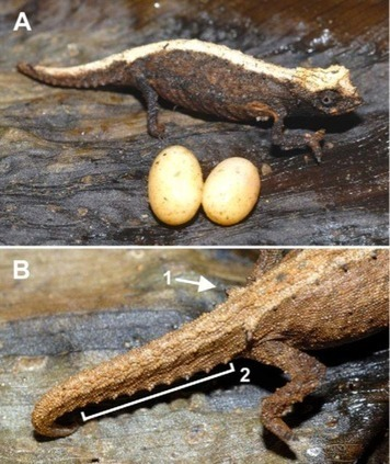World's Tiniest Chameleons Found in Madagascar | Biology@BellaOnline | Scoop.it