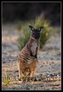 Kangaroo, wallaby, information, free pictures, gifts | Kangaroos | Scoop.it