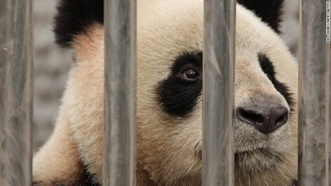Panda dies suddenly in Chinese zoo amid mistreatment claims | 3dprint | Scoop.it