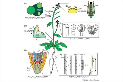 AINTEGUMENTA-LIKE proteins: hubs in a plethora of networks | plant cell genetics | Scoop.it
