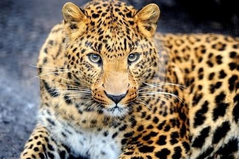 Кошачий день: фото-пост о пятнистом леопарде   Amuze   Scoop.it