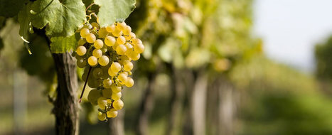 The indigenous grapes of Le Marche: Passerina grapes from the Piceno area | Wines and People | Scoop.it