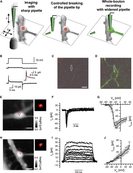 Nanoscale-Targeted Patch-Clamp Recordings of Functional Presynaptic Ion Channels | Neuroscience_technics | Scoop.it