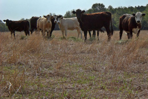 Thousands of cattle succumb to drought | Climate Chaos News | Scoop.it