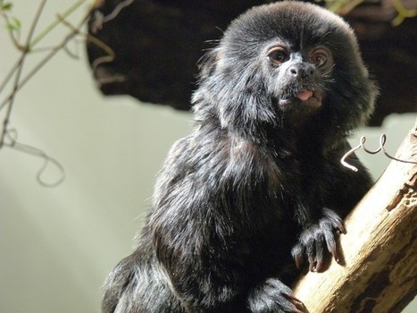 Photos de singes : Tamarin de Goeldi - Callimico - Tamarin sauteur - Callimico goeldii - Goeldi's Marmoset | Fauna Free Pics - Public Domain - Photos gratuites d'animaux | Scoop.it