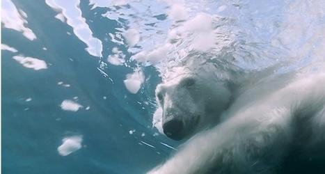 Vidéo HD | Groenland - Plongée avec l'ours polaire : unique au monde ! | UW Photography | Scoop.it