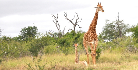 Are Giraffe galloping towards disappearance? | Wildlife Conservation: People and Stories | Scoop.it