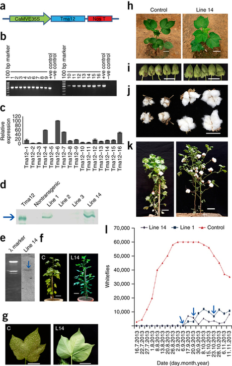 Expression of an insecticidal fern protein in cotton protects against whitefly : Nature Biotechnology : Nature Research | plant cell genetics | Scoop.it