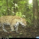 Ecuador May Have More Jaguars Than Anywhere Else on Earth | Rainforest EXPLORER:  News & Notes | Scoop.it