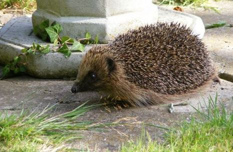 British homeowners unite to create hedgehog highways | Biodiversity protection | Scoop.it
