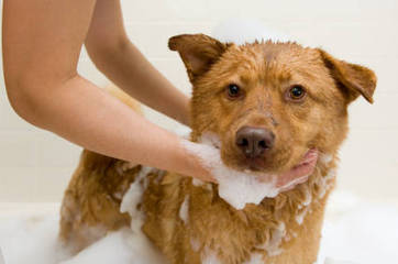 Mange Shampoo: A Natural Cure For Mange In Dogs | Stop Dog Itching | Rescoops | Scoop.it