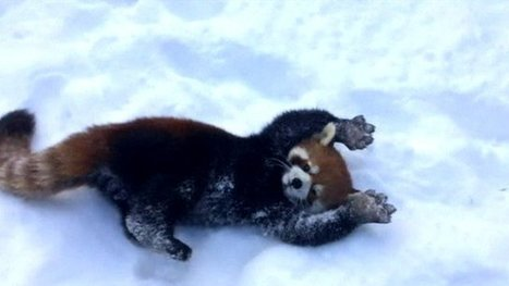 Ohio red pandas frolic in the snow | The Mayans and 2012 | Scoop.it