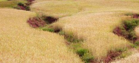 Campagne céréalière au Maroc : Baisse de 30% de la production   IRIS Geopolitics of Grain   Scoop.it