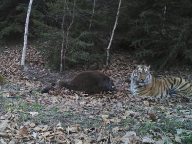 China considers a huge national park for Amur tigers and leopards | Endangered species | Scoop.it