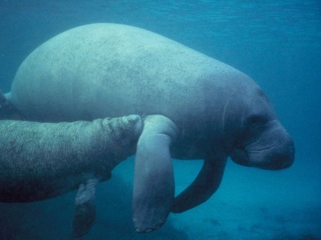 14 Fun Facts About Manatees | All about water, the oceans, environmental issues | Scoop.it