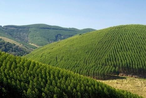 Brésil : des eucalyptus génétiquement modifiés pour remplacer la forêt tropicale ? | Education environnement | Scoop.it
