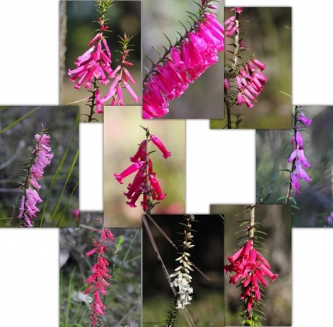 Epacris impressa – a history | Australian Plants on the Web | Scoop.it