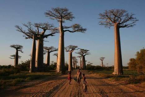 Los árboles más grandes del planeta se desvanecen | Carpintería y Tic's | Scoop.it