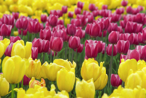 Ways to protect tulips from fast-spreading fungus | The Miracle of Fall | Scoop.it