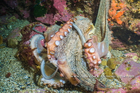 INSTAQUATIC #01 : octopus VS octopus - Le Blog de la Plongée Bio | Biologie marine | Scoop.it