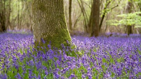 Big picture: Belated bluebell bloom | 100 Acre Wood | Scoop.it
