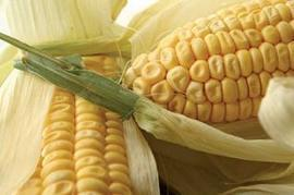 Algeria starts maize production to reduce reliance on imports   MAIZE   Scoop.it