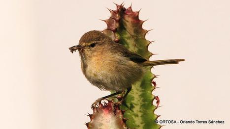 SANTA BRÍGIDA. Senderos y Paisajes: Mosquitero canario (Phylloscopus canariensis). LOS OLIVOS | GEOPORTAL DE SANTA BRÍGIDA | Scoop.it