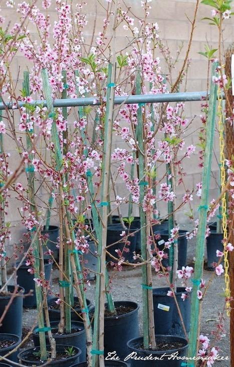 The Prudent Homemaker Blog: Choosing Fruit Trees for Your Garden | Health & Fitness | Scoop.it
