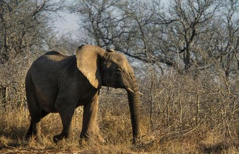 Should U.S. Zoos Be Allowed to Import 18 African Elephants? | Conservation | Scoop.it