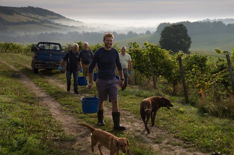 England's largest single estate vineyard picks first grapes from this year's vintage | Vitabella Wine Daily Gossip | Scoop.it