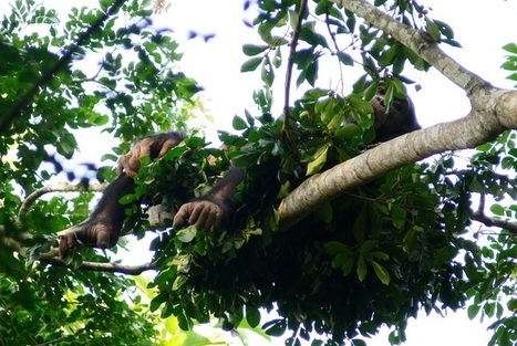 Wild Chimps Prefer a Firm Bed | enjoy yourself | Scoop.it