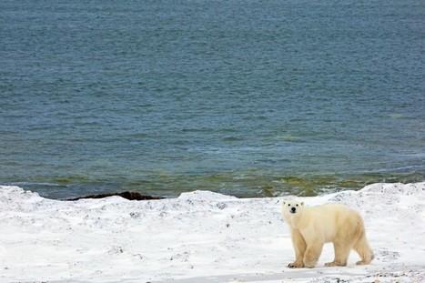 Mieux isoler nos maison grâce aux ours polaires - RTL.fr | Biomimétisme & Biomimicry | Scoop.it