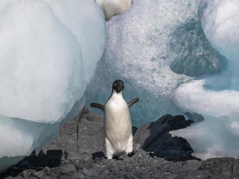 Penguin colony faces annihilation as huge iceberg blocks sea | Antarctica | Scoop.it