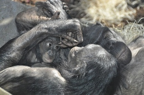Human and Ape Empathy One and the Same | Protect our oceans | Scoop.it