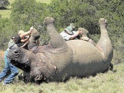 Buyers stay away from Rhino for sale - Sowetan LIVE | What's Happening to Africa's Rhino? | Scoop.it