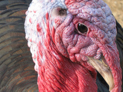 Turkey Surprise | Yoiu dot Net | Funny and Viral Photos | Scoop.it