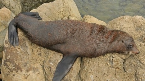 Meet Auckland's resident seal | Oceans and Wildlife | Scoop.it