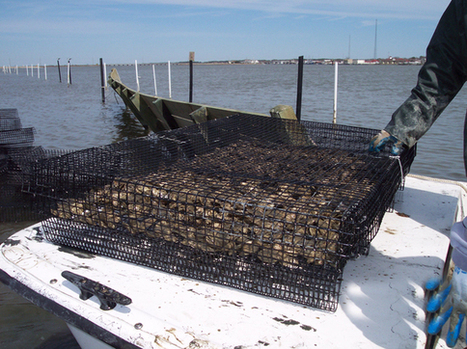 Is Oyster Aquaculture Good for the Bay? 5 Questions for Dr. Ashley Smyth | Aquaculture Directory | Scoop.it