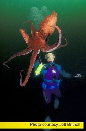 Campbell River British Columbia: In the Realm of the Giant Pacific Octopus | All about water, the oceans, environmental issues | Scoop.it