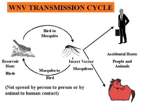Nouveaux cas d'infection à virus West Nile chez des chevaux aux États-Unis | EntomoNews | Scoop.it