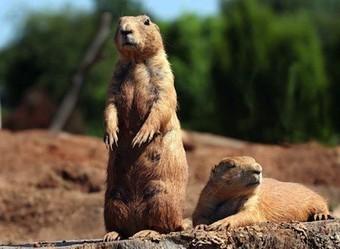Vanishing US Prairie Dogs May Speak the Most Complex Animal Language   General linguistics   Scoop.it