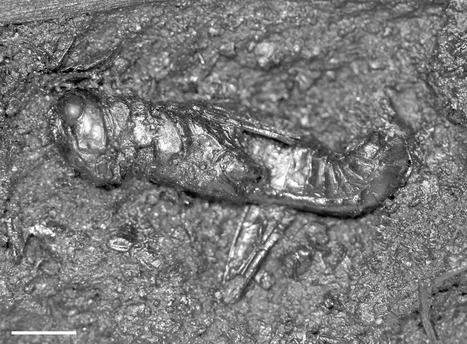 Un criquet fossile du Pléistocène supérieur d'environ 38 000 ans a été identifié à l'espèce en Californie | EntomoNews | Scoop.it