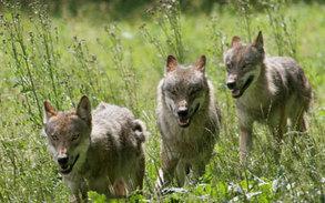 Le loup serait de retour dans les forêts wallonnes   Le retour du loup et du lynx en Belgique   Scoop.it