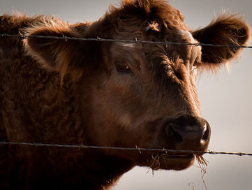 Why You Should Be Worried About the California Mad Cow Case | Food issues | Scoop.it